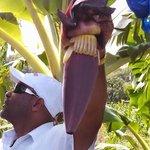 Yellow Bird explains bananas