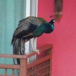 un paon sur le balcon