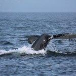 Une belle baleine blanche entrain de plonger