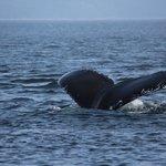 une autre baleine qui plonge