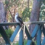 Kookaburra on the front porch