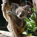 Cutie Koala!