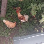 Chickens by the pool