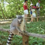 Lemur, blurred as he is so close