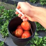 Homegrown Fresh Tomatoes Just Picked