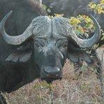 mannelijke buffel