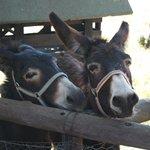 ezels in de kinderboerderij