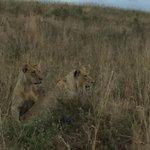 lions found!