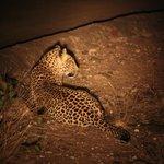 Nightdrive met luipaard!!!