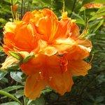 Summer Flowering Orange Rhododendron