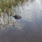 Alligator in Everglades