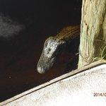 Alligator by car park