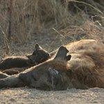 Gevlekte hyena met twee jongen