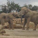 African elephants playing