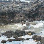 Hawaiian monk seals fighting