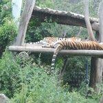 schlafende Tiger