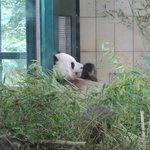 der gechillte Panda