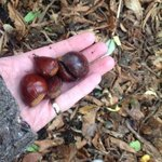 collecting chestnuts for roasting