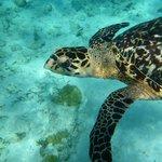 A beautiful hawkbill turtle