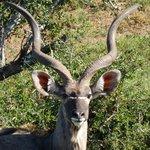 impressive horns on Kudu