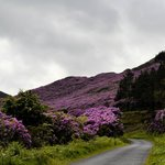 Rhododendron Paradise on the road to the Vee.  June 2014