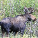 Bull moose about a mile from the hotel (there were three there that day!)