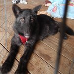 4 month old British Columbia wolf pup