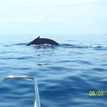 Humpback whale Mama