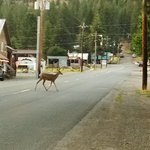 This is right in front of Elkhorn restauraunt-tavern. Deer were always on the streets, in yards,
