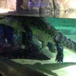 Big crocodile inside the zoo!