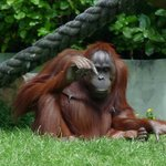 The old man orangutan
