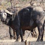 mean looking buffalo