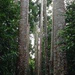 Avenue of giant Queensland Kauri trees