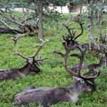 Il riposo delle renne
