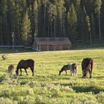 Horses grazing in near our cabin