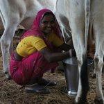 Narani milking the cow