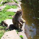 Macaco che lava la sua mela