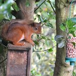 Red Squirrel in rear garden