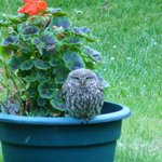 Some wildlife (ourLlttle Owl)