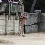 Les girafes à portée de tous