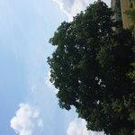Le chêne de 500 ans