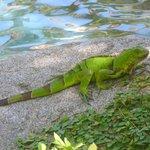 One of many iguanas roaming the property