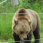Boo the Grizzly