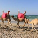 Les chameaux sur la plage