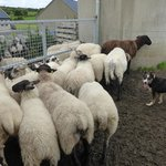 The different types of sheep at Caherconnell