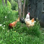 The Resident Chickens