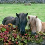 Islay and Cara, our two Shetland Ponies