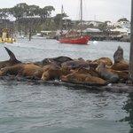 Harbor seals a-plenty