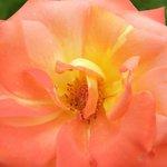 gorgeous two tone rose
