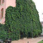 View of ivy covered side of hotel